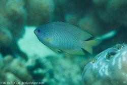 BD-151225-Apo-9954-Pomacentrus-amboinensis.-Bleeker.-1868-[Ambon-damsel].jpg